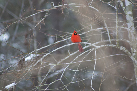 A cardinal bird perched on a branch in a snow covered winter forest.