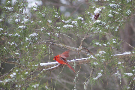 snow cardinal: A cardinal bird in flight snow covered winter forest.