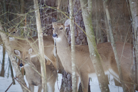 Deer standing in a snow covered forest