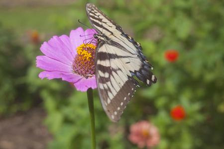 plants species: Una farfalla di coda forcuta su un fiore zinnia.