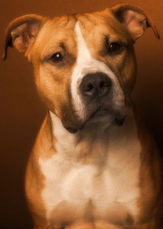 terriers: american staffordshire terrier Stock Photo