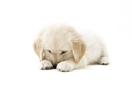 retriever puppy Stock Photo