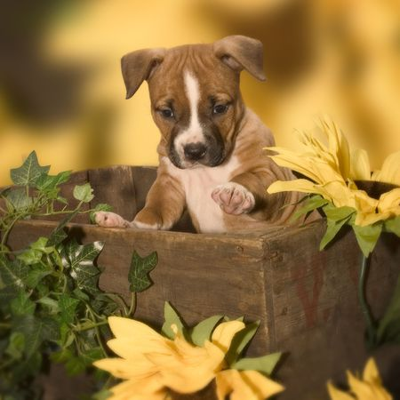 puppy in a box Stock Photo