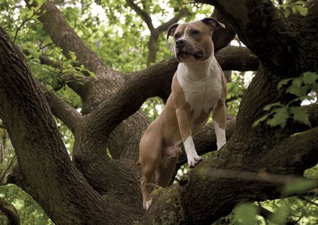 american staffordshire terrier: doggy in the tree