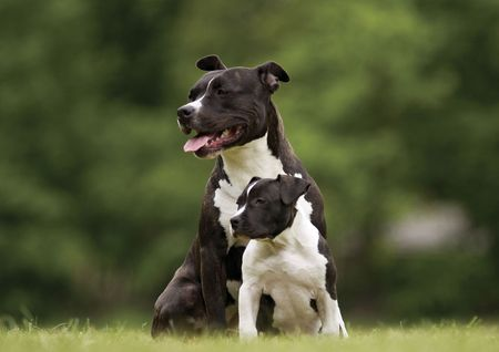 pit bull: mother and daughter