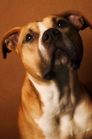 bajo y fornido: gran perro  Foto de archivo