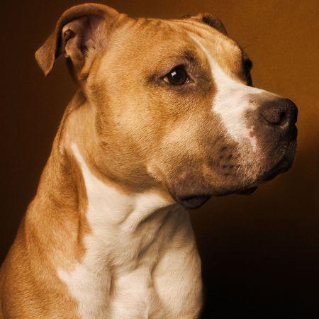 american staffordshire terrier Archivio Fotografico
