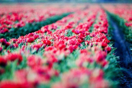 red tulips Stock Photo - 2400270