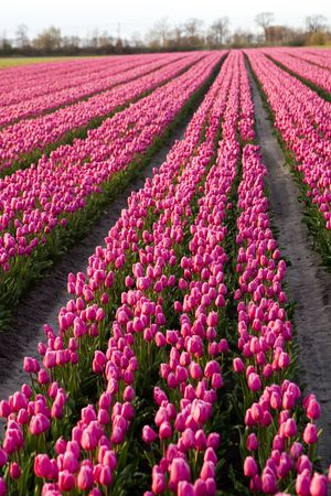 tulip rows Stock Photo - 2396548