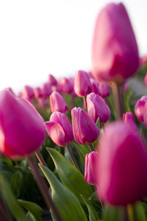 purple tulips photo