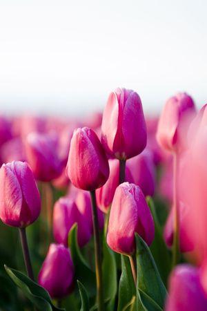 tulips Stock Photo - 2396528