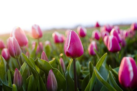 tulips Stock Photo - 2396529