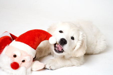 christmass puppy Stock Photo