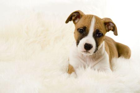 stafford: Stafford cucciolo  Archivio Fotografico
