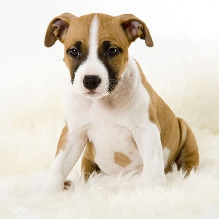 stocky: stafford puppy Stock Photo
