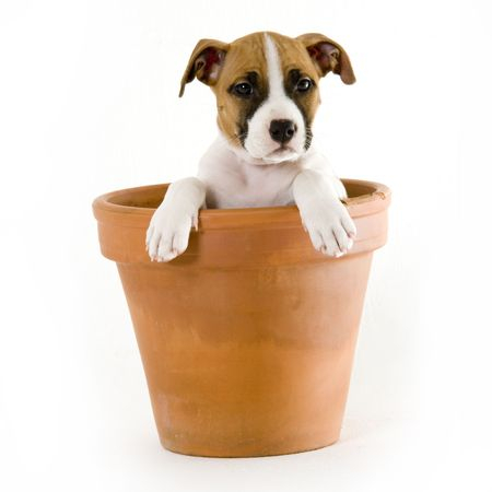 stafford puppy Stock Photo