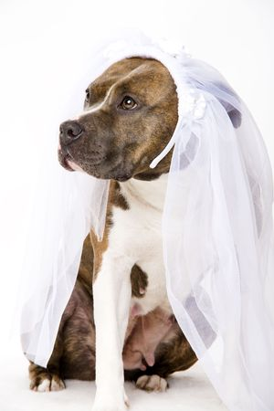 bul: beautifull dog bride