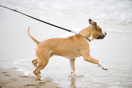 pitbull: american staffordshire terrier Stock Photo