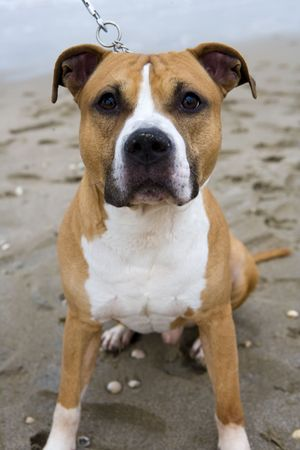 pitbull: beautifull american staffordshire terrier