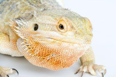lawson: a beautifull bearded Dragon