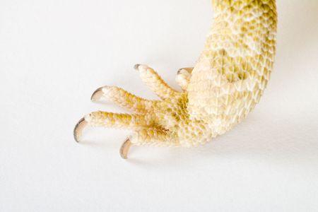 lawson: claw af bearded dragon Stock Photo