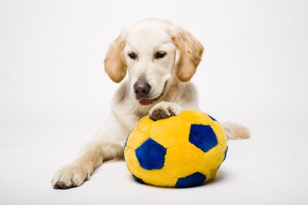 retriever holding ball Stock Photo - 2541726