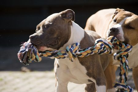 Two American Staffordshire Terriers Stock Photo - 2541899