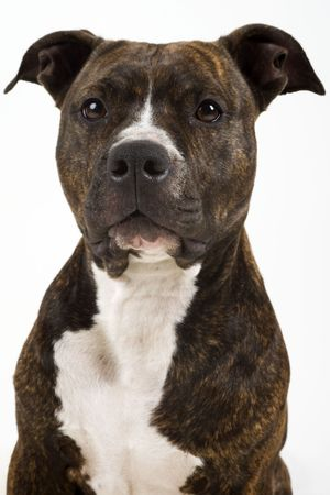 pit bull: American Staffordshire Terrier