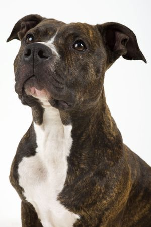 cute American Staffordshire Terrier