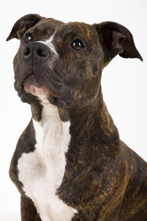 cute American Staffordshire Terrier