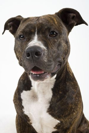american staffordshire terrier: American Staffordshire Terrier