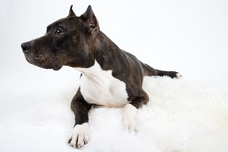 American Staffordshire Terrier Stock Photo - 2541761