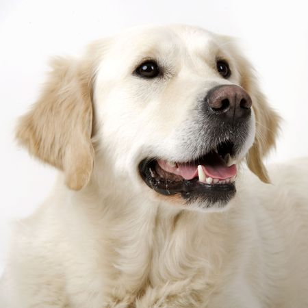 behave: Lovely golden retriever Stock Photo