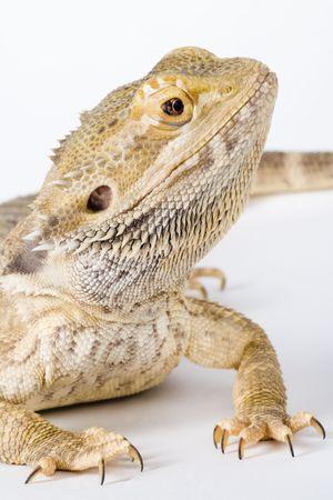 lawson: bearded dragon