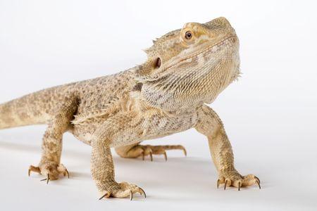 lawson: a bearded dragon Stock Photo