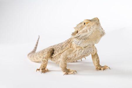 lawson: bearded dragon  Stock Photo