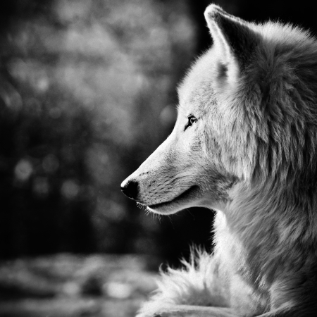 black and white wolf: Wolf