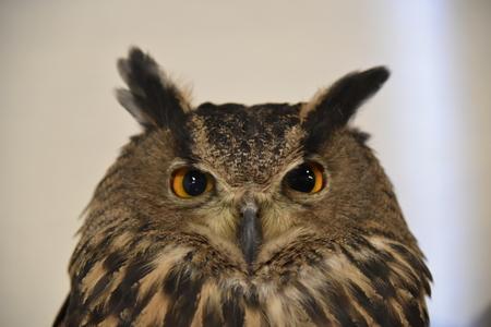 owl close fase 版權商用圖片