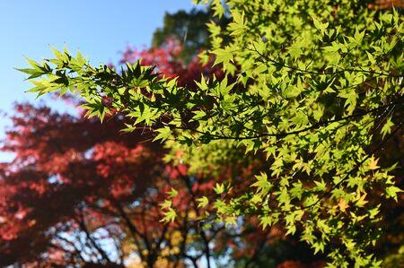 autymn leaves st kiyomizu garden