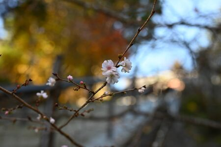 winter cherry at kiyomizu in fall