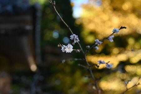 winter cherry at kiyomizu garden