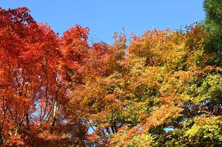 autumn leaves at kiyomizu garden 写真素材