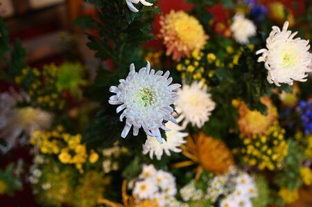 kiku flower at mid fall