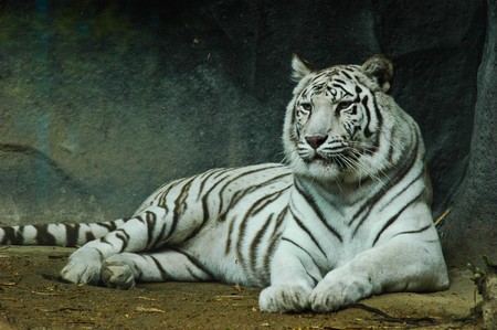 siberian tiger: white tiger Stock Photo