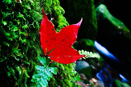red maple Stock Photo - 7113986