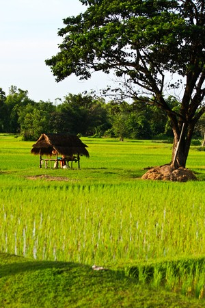 rice farm on the mountain photo