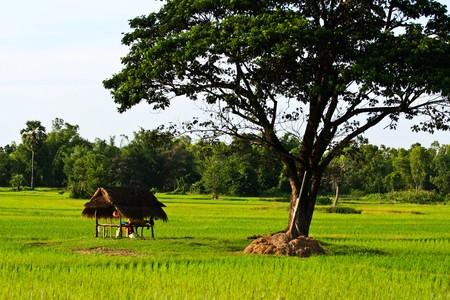rice farm on the mountain photo