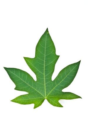 green leaf on white background Stock Photo - 7337467