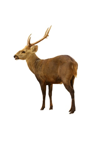 deer on white background photo
