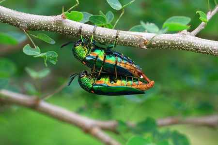 bug sex Stock Photo - 10682855